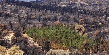 Esenciálny olej Cypress cyprus doterra