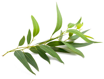Esenciálny olej eucalyptus eukalyptus doterra