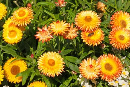 Esenciálny olej Helichrysum slamienka doterra