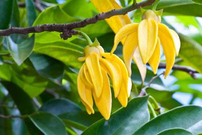Esenciálny olej ylang ylang doterra